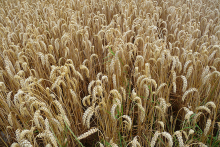 Agriculture - Image of Wheat
