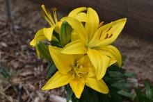PROMO 660 x 440 Garden - Lilly Flower Yellow - Chris Sorensen