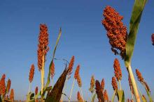 PROMO Agriculture - Sorghum Millet - iStock - tanew_pix