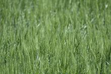 PROMO 660 x 440 Agriculture - Wheat Green - Chris Sorensen