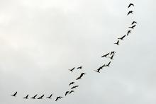 PROMO 660 x 440 Animal - Birds Geese Flight Flying - Chris Sorensen
