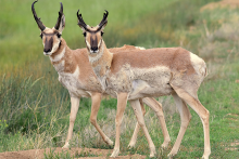PROMO 660 x 440 Animal - Pronghorn Antelope Arapaho National Wildlife Refuge - USFWS - Tom Koerner - public domain