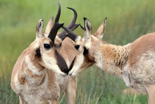 PROMO 660 x 440 Animal - Pronghorn Antelope Close Up Arapaho National Wildlife Refuge - USFWS - Tom Koerner - public domain