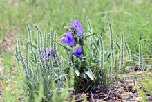 PROMO 660 x 440 Plant - Wildflower Prairie Purple - Chris Sorensen