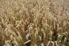PROMO 660 x 440 Agriculture - Ripe Wheat - Wikimedia
